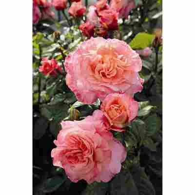 Rose 'Augusta Luise®' Halbstamm, 24 cm Topf
