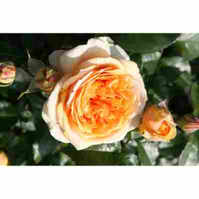 Rose 'Chippendale®' Halbstamm, 24 cm Topf