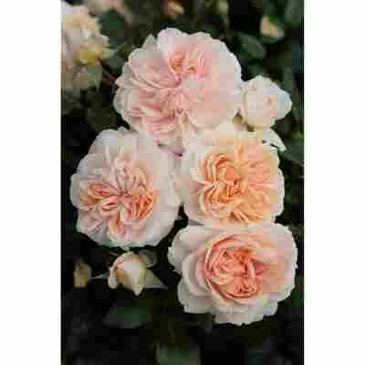 Rose 'Garden of Roses®' Halbstamm, 24 cm Topf