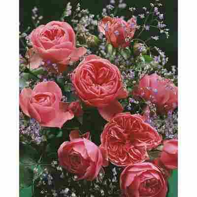 Rose 'Leonardo da Vinci®' Halbstamm, 24 cm Topf