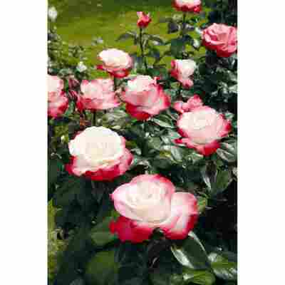 Rose 'Nostalgie®' Halbstamm, 24 cm Topf