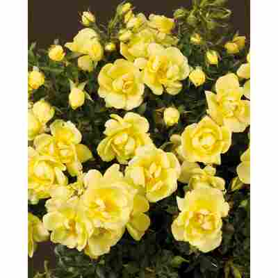Rose 'Clear Cover® TOWNE & COUNTRY®' 19 cm Topf