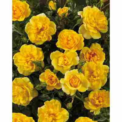 Rose 'Excellent Cover® TOWNE & COUNTRY®' 19 cm Topf