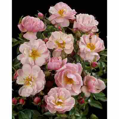 Rose 'Gentle Cover® TOWNE & COUNTRY®' 19 cm Topf