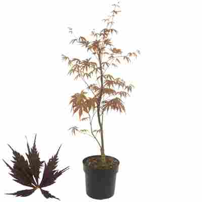 Fächerahorn 'Black Lace®' 19 cm Topf