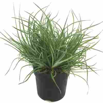 Gartenbromelie 13 cm Topf