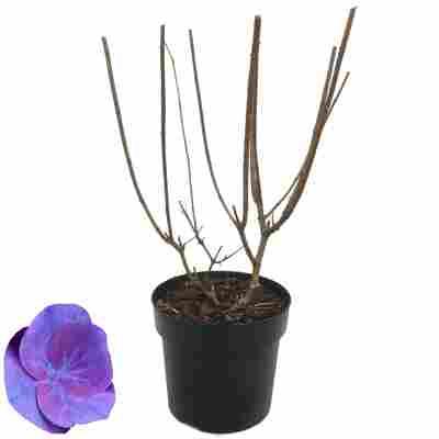 Hortensie 'Ningbo Lilac' 27 cm Topf
