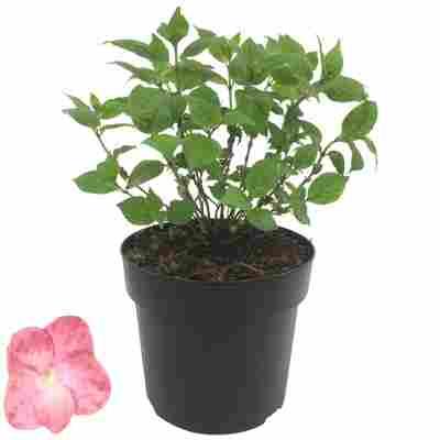 Hortensie 'Pink Petticoat®' 19 cm Topf