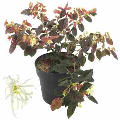 Riemenblüte 'Ruby Snow®' 15 cm Topf