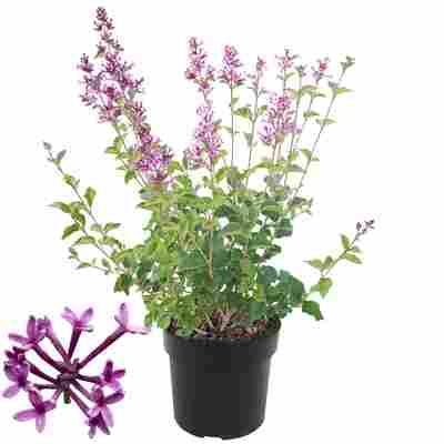 Edelflieder 'Bloomerang Dark Purple®' 19 cm Topf