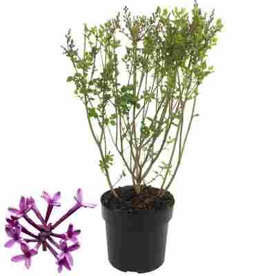 Edelflieder 'Bloomerang Dark Purple®' 15 cm Topf