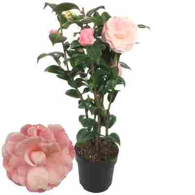 Kamelie 'Nuccio's Cameo' rosa 15 cm Topf