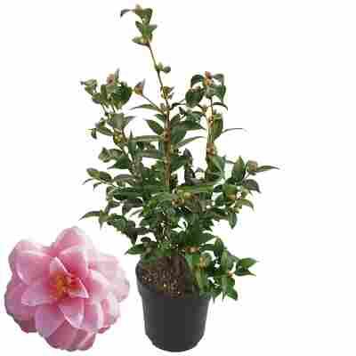 Kamelie 'Spring Festival' rosa 19 cm Topf