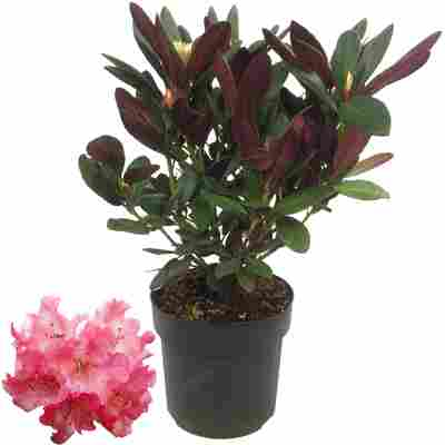 Rhododendron 'Wine & Roses®' 19 cm Topf