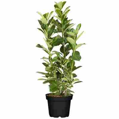 Kirschlorbeer 'Rotundifolia' 80-100 cm, 23 cm Topf