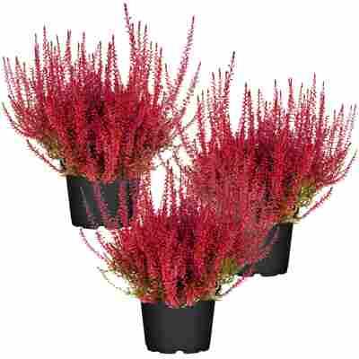Knospenheide rot gefärbt 11 cm Topf, 3er-Set