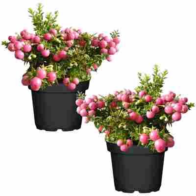Torfmyrte rosa 14 cm Topf, 2er-Set