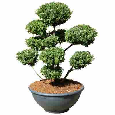 Gartenbonsai Japanische Stechpalme 'Maxima' 60/80 cm im 34 cm Topf