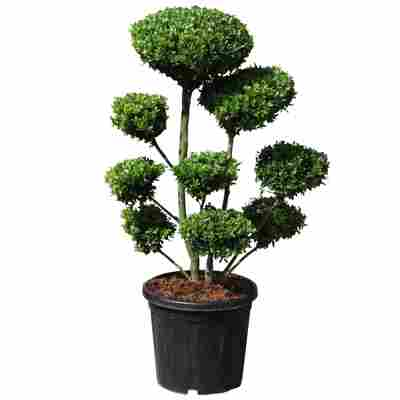 Gartenbonsai Japanische Stechpalme 'Maxima' 60/80 cm im 30 cm Topf