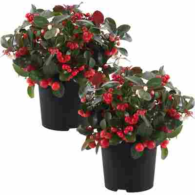 Scheinbeere 'Big Berry' 12 cm Topf, 2er-Set