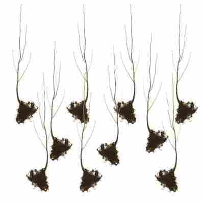 Vogelbeere wurzelnackt, 10er-Bund