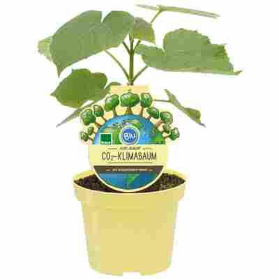 Bio-CO2-Klimabaum Kiri-Baum 'Nordmax21'® 15 cm Topf
