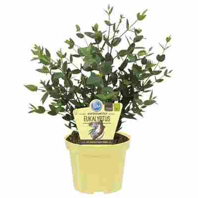 Bio-Eukalyptus 'Enjoy' 12 cm Topf