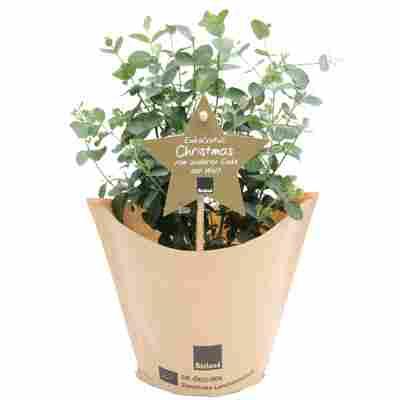 Bio-Eukalyptus 'Christmas' 12 cm Topf