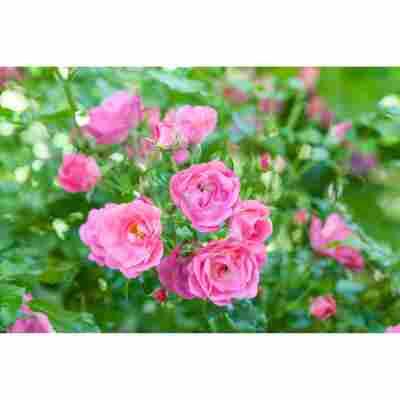 Bodendeckerrosen 2 Stecklinge verschiedene Farben 13 cm Topf
