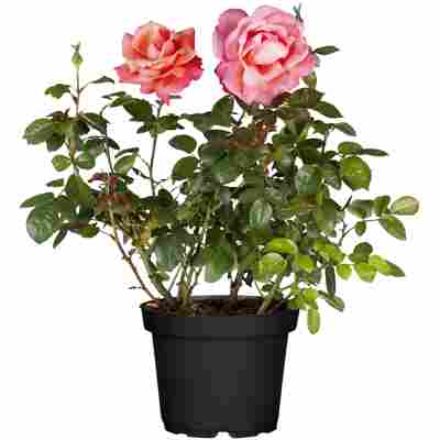 Gartenrosen verschiedene Farben 17 cm Topf