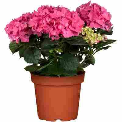 Bauernhortensie mit 5-6 Blüten verschiedene Farben 19 cm Topf