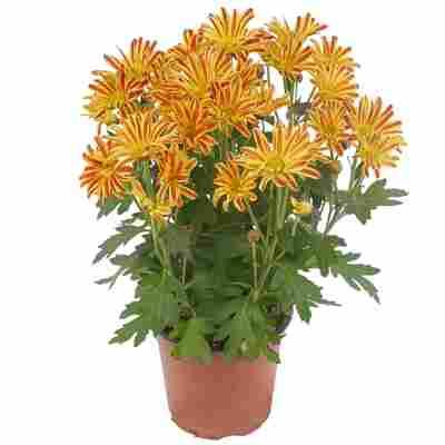 Multiflora-Chrysantheme 12 cm Topf