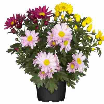 Chrysanthemen-Trio 12 cm Topf