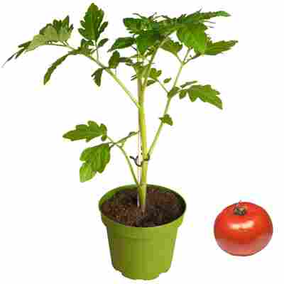 Naturtalent by toom® Bio-Tomate verschiedene Sorten veredelt 13 cm Topf
