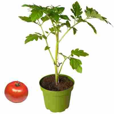 Naturtalent by toom® Bio-Tomate verschiedene historische Sorten 11 cm Topf