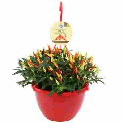 Bio-Chili im Ampeltopf Ø 27 cm
