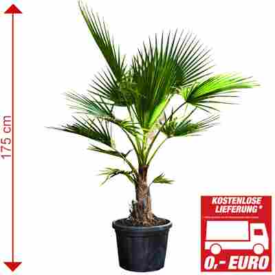 Washingtonpalme 175 cm, 52 cm Topf