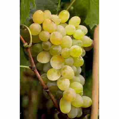 Wein Stamm, 40 l Container