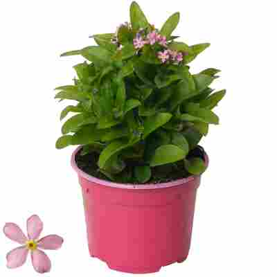 Vergissmeinnicht rosa 10,5 cm Topf