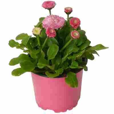 Tausendschön rosa 10,5 cm Topf