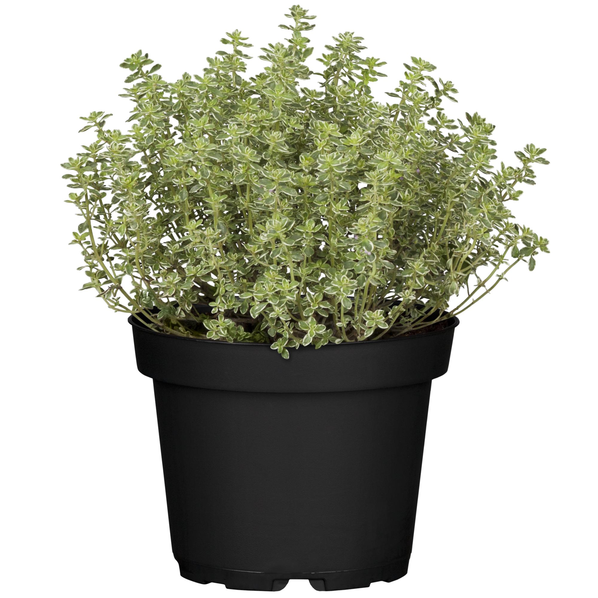 Thymian grün 14 cm Topf