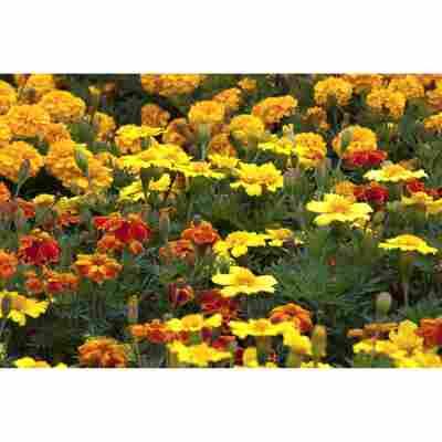 Studentenblume, 13 cm Topf, 3er-Set