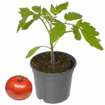 Tomate verschiedene historische Sorten 10,5 cm Topf