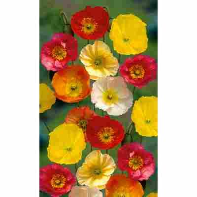 Islandmohn 'Gartenzwerg', 9 cm Topf, 3er-Set