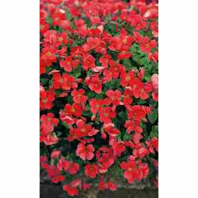 Rotes Blaukissen 'Royal Red', 9 cm Topf, 3er-Set