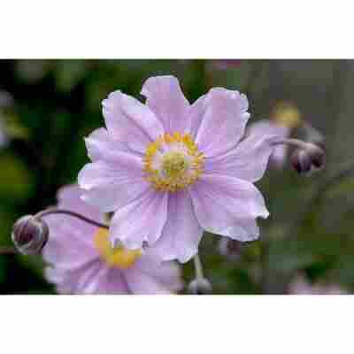 Herbstanemone, 9 cm Topf, 3er-Set