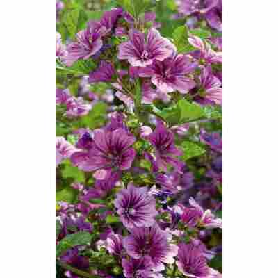 Gartenmalve 'Zebrina', 9 cm Topf