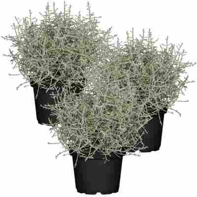 Stacheldraht-Pflanze 11 cm Topf, 3er-Set