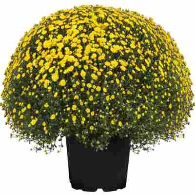 Chrysanthemen-Busch Mix 33 cm Topf