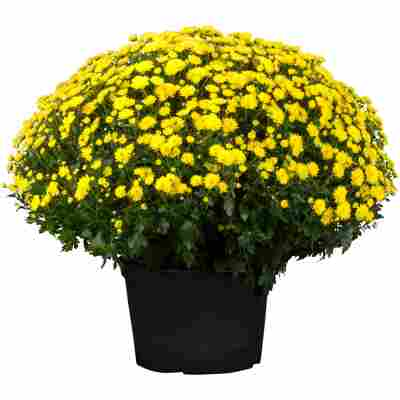 Chrysantheme 40 x gelb, Topf 19 cm